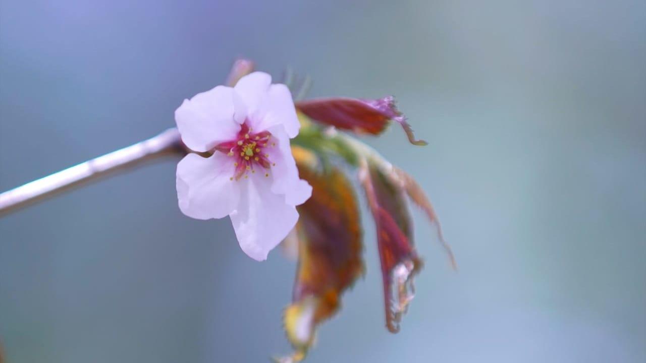 宮の沢 一番桜 桜 開花