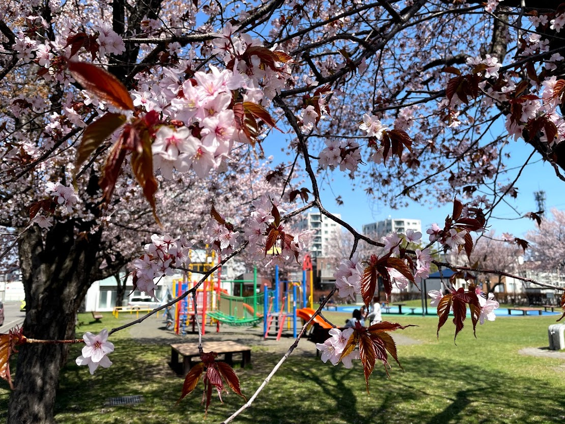 桜公園 札幌市 桜