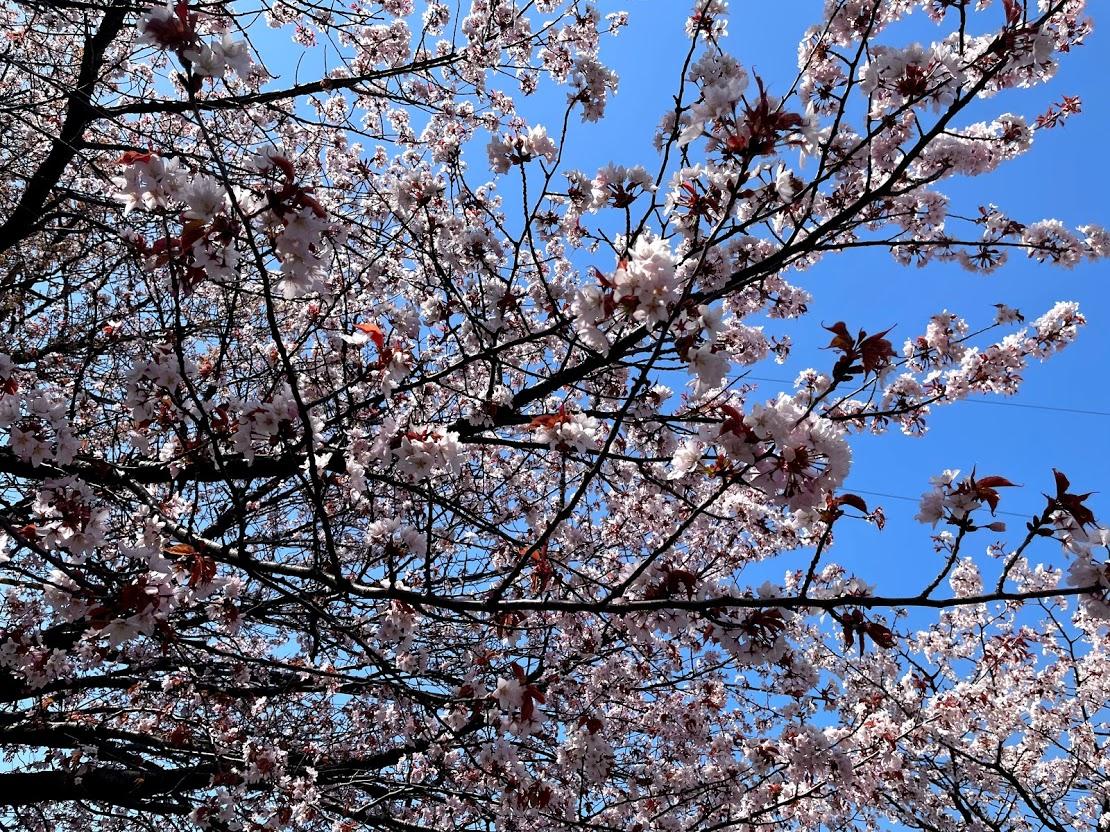 さくら 札幌 桜公園