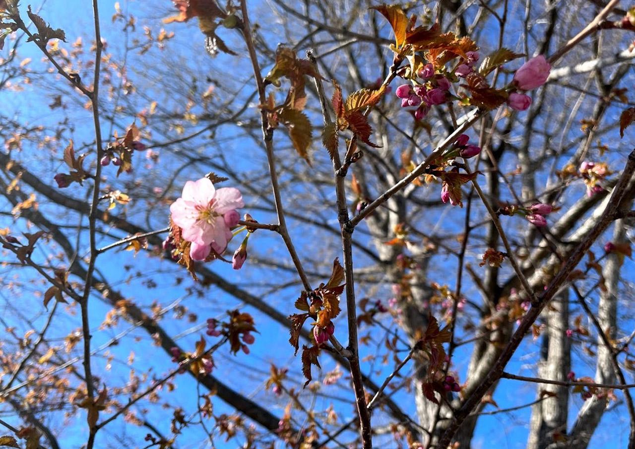 桜 開花 札幌