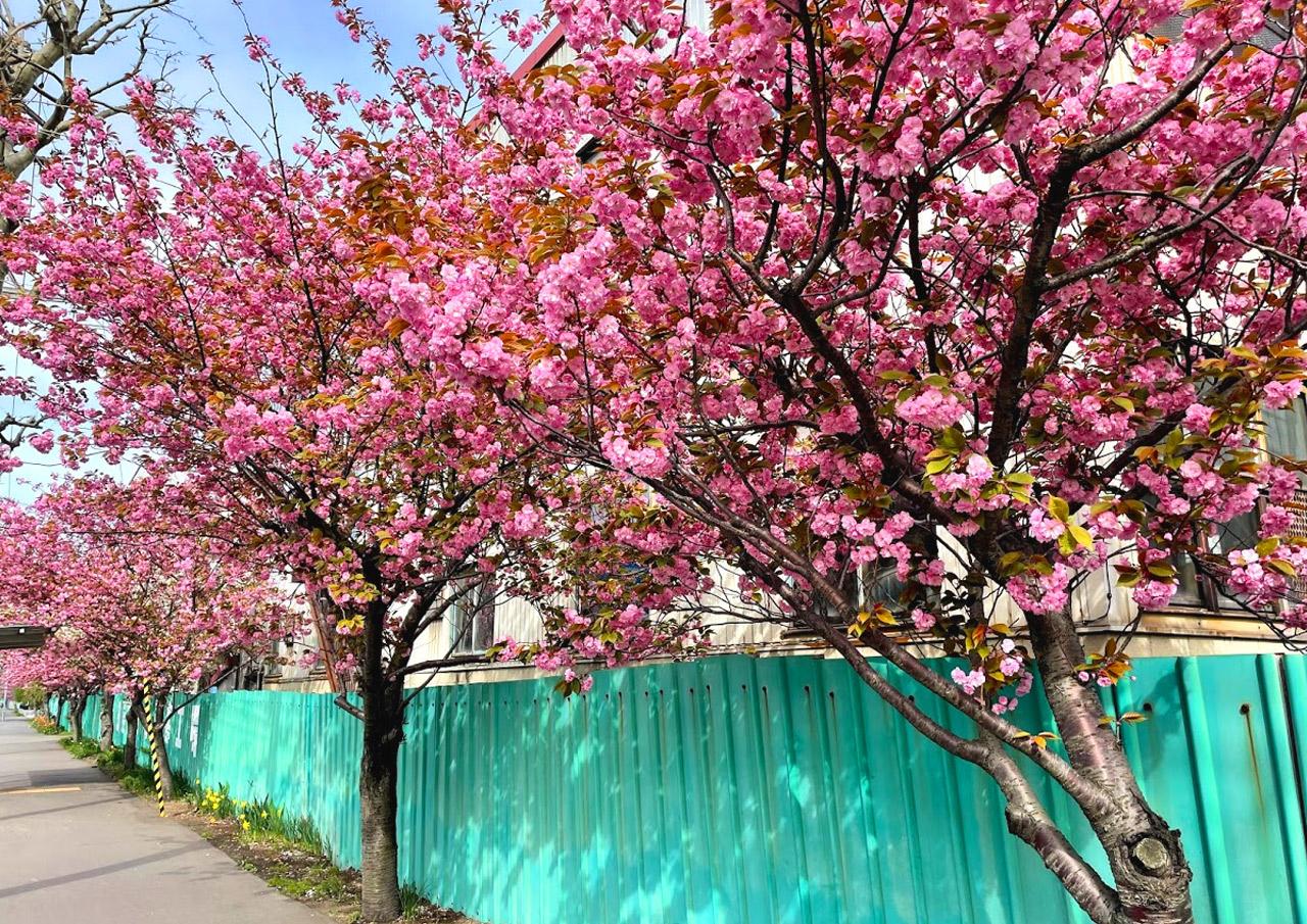 桜 札幌市西区発寒