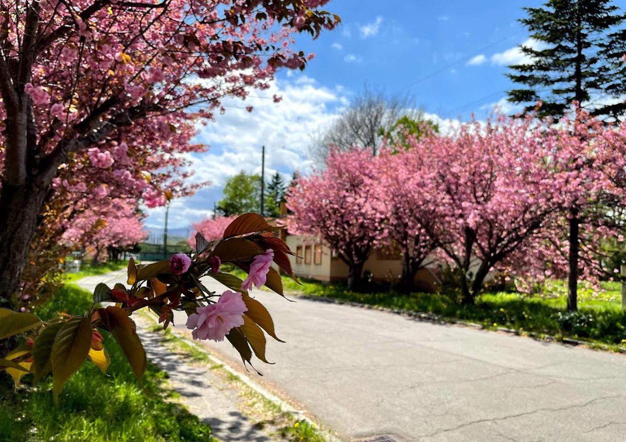 八軒 公務員宿舎 桜