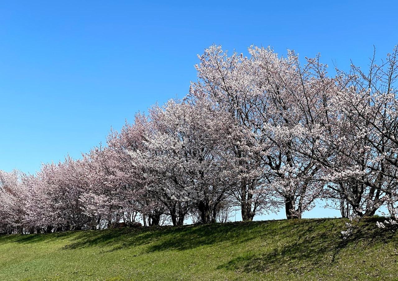 手稲区 中の川緑地 中の川桜つづみ 桜