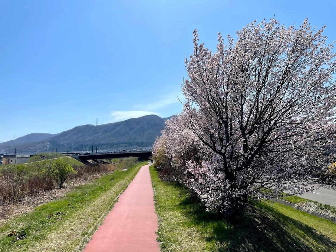 中の川桜つづみ 桜 中の川緑地